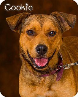Shepherd (Unknown Type)/Labrador Retriever Mix Dog for adoption in Somerset, Pennsylvania - Cookie