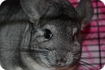 Chinchilla for adoption in Lindenhurst, New York - Annie