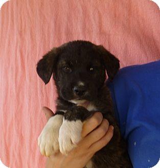 Australian Shepherd/Labrador Retriever Mix Puppy for adoption in Oviedo, Florida - Lucky