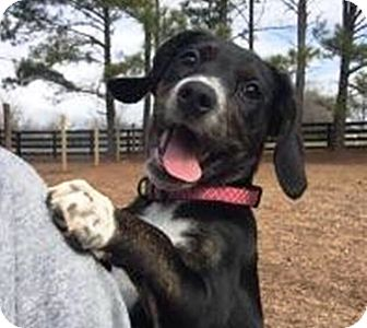 Labrador Retriever/Pointer Mix Puppy for adoption in Glenburn, Maine - Shiloh