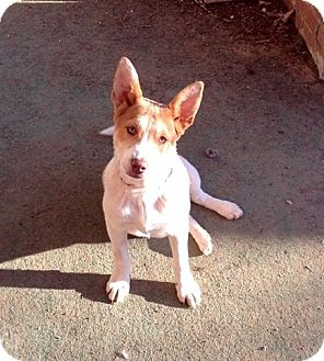 Jack Russell Terrier/Feist Mix Dog for adoption in Allentown, Pennsylvania - Rebecca