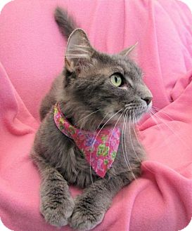 Domestic Mediumhair Cat for adoption in Port St. Joe, Florida - Fancy