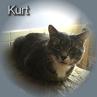 Domestic Shorthair Cat for adoption in East Stroudsburg, Pennsylvania - Kurt