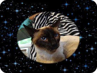 Siamese Cat for adoption in Jefferson, Texas - Eva