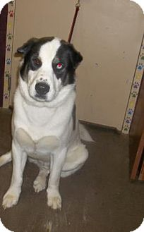 St. Bernard Mix Dog for adoption in Rapid City, South Dakota - Max