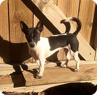 Rat Terrier/Chihuahua Mix Dog for adoption in Austin, Texas - Aurora