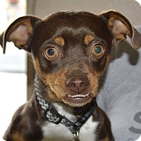 Adopt A Pet :: Chocolate Charlie - Meridian, ID