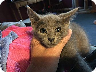 Domestic Shorthair Kitten for adoption in Toledo, Ohio - Tom