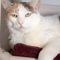 Domestic Shorthair Cat for adoption in Palm Springs, California - Milkdud