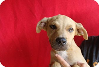 Rhodesian Ridgeback/Labrador Retriever Mix Puppy for adoption in Oviedo, Florida - Riley