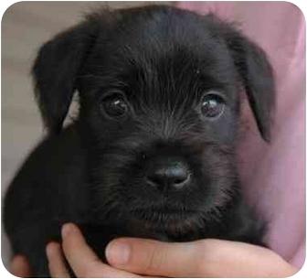 Westie, West Highland White Terrier Mix Puppy for adoption in Westfield, New York - Puppies