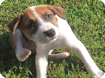 Bulldog/Beagle Mix Puppy for adoption in Jacksonville, North Carolina - Godiva