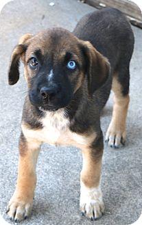 Labrador Retriever/Australian Shepherd Mix Dog for adoption in Woonsocket, Rhode Island - Tahoe - MEET ME