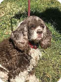 Cocker Spaniel Dog for adoption in Cape Coral, Florida - Freckles