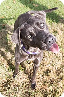 Blue Lacy/Texas Lacy/Weimaraner Mix Dog for adoption in East Windsor, Connecticut - LACEY