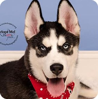 Siberian Husky Puppy for adoption in Cincinnati, Ohio - Jet - pending