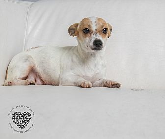 Chihuahua/Terrier (Unknown Type, Small) Mix Dog for adoption in Inglewood, California - Jenny