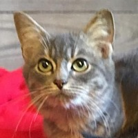 Domestic Shorthair Kitten for adoption in Kingwood, Texas - Sonny