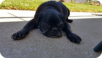 Pug Dog for adoption in Gardena, California - Elvis