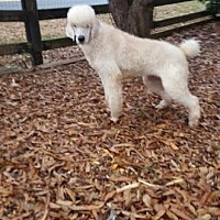 Poodle (Standard) Puppy for adoption in Alpharetta, Georgia - Cooper