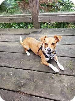 Chihuahua/Jack Russell Terrier Mix Dog for adoption in Hamilton, Ontario - Layla