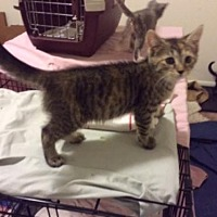 Domestic Shorthair Kitten for adoption in Lewistown, Pennsylvania - Angel (baby girl)