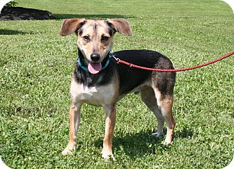 Mixed Breed (Small) Mix Dog for adoption in Breinigsville, Pennsylvania - Copper
