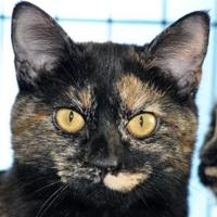Domestic Shorthair/Domestic Shorthair Mix Cat for adoption in Tilton, Illinois - Caramel Corn