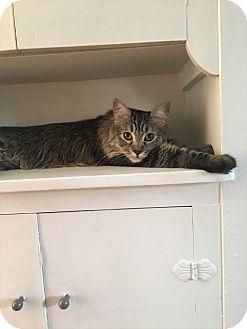 Maine Coon Cat for adoption in Phoenix, Arizona - Trevor