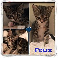 Adopt A Pet :: Felix - Jeffersonville, IN