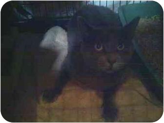 Russian Blue Cat for adoption in Fort Lauderdale, Florida - Javien