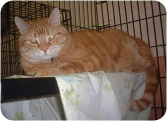 Domestic Shorthair Cat for adoption in Honesdale, Pennsylvania - Tucker