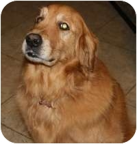 Golden Retriever Mix Dog for adoption in Scottsdale, Arizona - Rocky