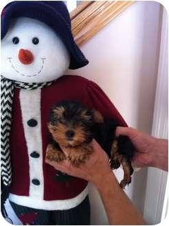 Yorkie, Yorkshire Terrier Puppy for adoption in Lonedell, Missouri - Megan