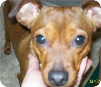 Chihuahua/Miniature Pinscher Mix Dog for adoption in Grants Pass, Oregon - Daisy