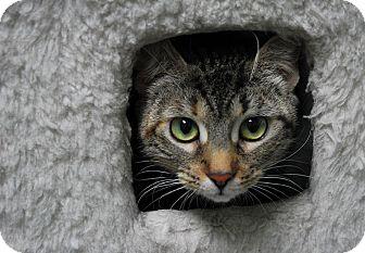 Domestic Shorthair Kitten for adoption in Lunenburg, Massachusetts - Avril