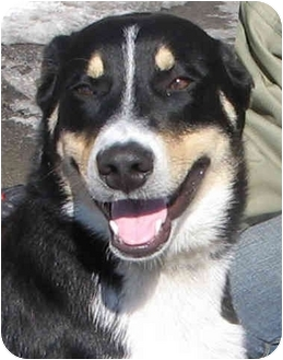 Shepherd (Unknown Type) Mix Dog for adoption in Chicago, Illinois - Finch