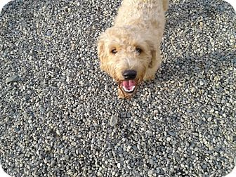 Labradoodle Dog for adoption in West Hartford, Connecticut - Sammy- in CT