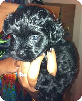 Maltese/Poodle (Miniature) Mix Puppy for adoption in Nuevo, California - Silky