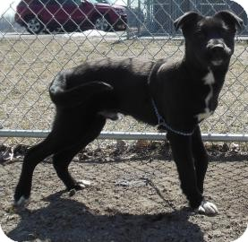 Labrador Retriever Mix Puppy for adoption in Gary, Indiana - Sam