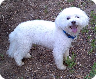 Poodle (Miniature)/Maltese Mix Dog for adoption in Geneseo, Illinois - Zach
