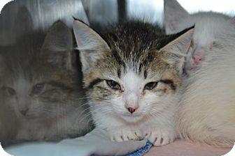 Domestic Shorthair Kitten for adoption in Edwardsville, Illinois - Gizma