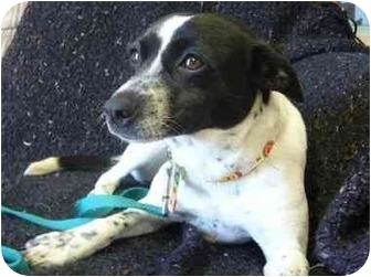 Terrier (Unknown Type, Small)/Blue Heeler Mix Dog for adoption in Portsmouth, Rhode Island - Dauphne