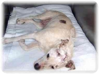 Jack Russell Terrier Mix Dog for adoption in Grass Valley, California - Cricket NEED HELP
