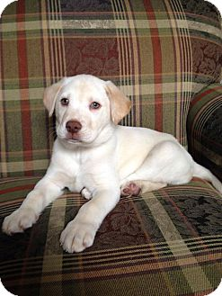 Labrador Retriever Mix Puppy for adoption in New Oxford, Pennsylvania - Jace