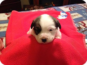 Jack Russell Terrier/Collie Mix Puppy for adoption in Kittery, Maine - Bailey