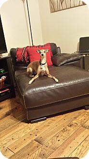 Italian Greyhound Dog for adoption in Argyle, Texas - Grayson in DFW Area