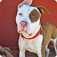 Adopt A Pet :: Oakley-Courtesy Post - Phoenix, AZ