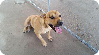 Labrador Retriever/Black Mouth Cur Mix Dog for adoption in Bowie, Texas - Glen