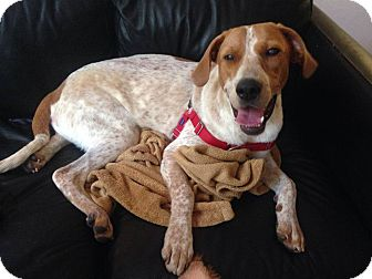English (Redtick) Coonhound Puppy for adoption in Leesburg, Virginia - Saul